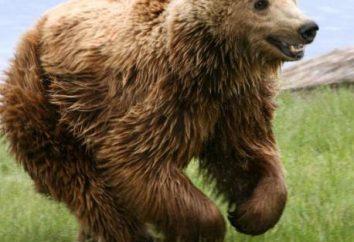 urso das cavernas – é como o líder de uma forte tribo inimiga