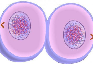 Como se forman nuevas células a través de la mitosis: características y valor de proceso
