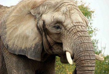 Qual è l'altezza massima di un elefante africano sulle spalle?