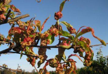 Najczęstsze choroby brzoskwini