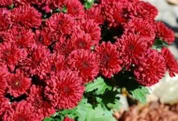 Gärtner beachten Sie: Wie die Vorbereitung für den Winter Chrysantheme ist