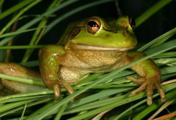 grama Frog: descrição, foto