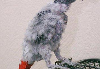 Roztocza papugi Leczenie