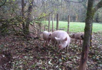 La litière des porcs à la maison. symptômes du porc que possible. Accouchement Petits Cochons: Soins