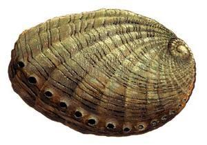 Abalone – wspaniały prezent