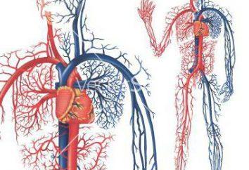 O sangue das artérias para as veias fica? Fisiologia da circulação sanguínea. O sangue ea circulação sanguínea
