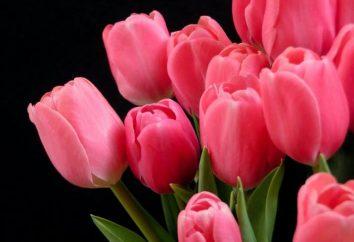 tulipa cor de rosa – uma flor delicado e requintado