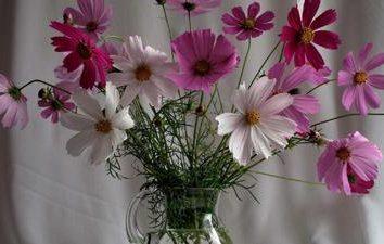 Kosmeya: wyrastanie z nasion na obszarze podmiejskim