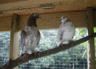 palomas Baku (giratorias): descripción de la casta