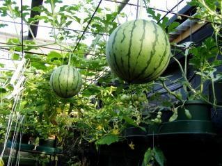Melons dans les serres: la culture appropriée