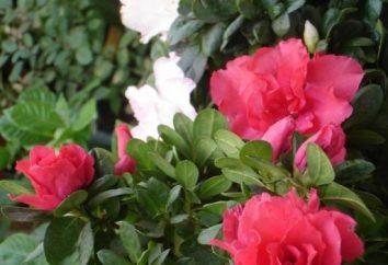 Buona Azalea (fiore). Come prendersi cura di piante