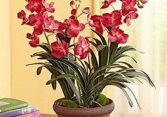 Delizioso orchidea Vanda