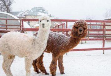 Granja de la alpaca: unidad y cuenta con un nuevo lugar