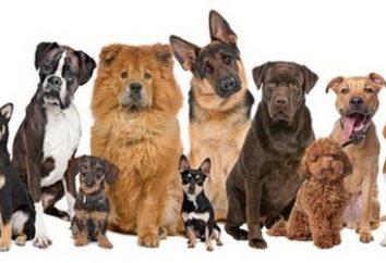 Quel chien est-il préférable d'avoir dans l'appartement? Chiens de taille moyenne pour un appartement