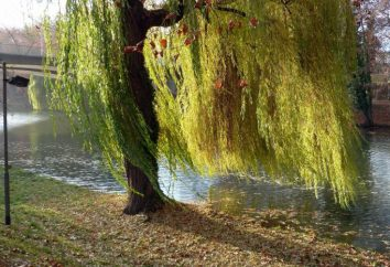 Willow – famille Willow Tree: description, photo
