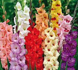 Come far crescere gladioli – la cura adeguata di questi magnifici fiori