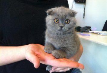 Prendre soin de le chaton Scottish Fold: les règles de base pour les propriétaires