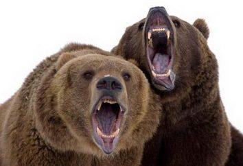 niedźwiedzie brunatne: Bruins z natury niebezpieczne i korby