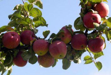 Regalo de grado Grafskaya (manzana): descripción, caracterización de las frutas