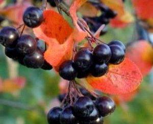 Vino e tintura di chokeberry in casa