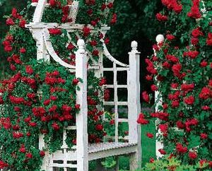 Rose scalatore Don Juan: una descrizione della varietà e recensioni