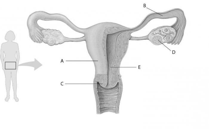 Fortpflanzungssystem: die Krankheit. Die weiblichen ...