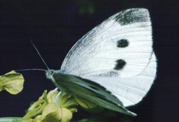 Chou papillon blanc (Pieris brassicae). papillons