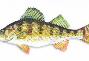perche de poisson (photo). perche de poisson d'eau douce. mérou