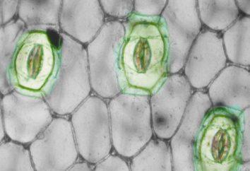 Los estomas en las plantas: identificación, localización, función. Significado de los estomas en las plantas de respiración