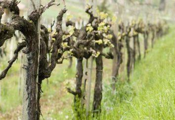Come potare uve molla correttamente. primavera Schema di potatura d'uva
