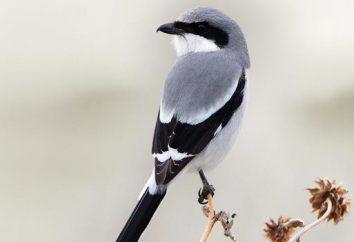 Szary Dzierzba: życie ptaków, siedlisk, ciekawostki