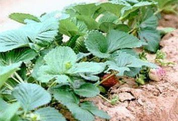 Lorsque les fraises transplanté pour le rendre agréable à la récolte abondante
