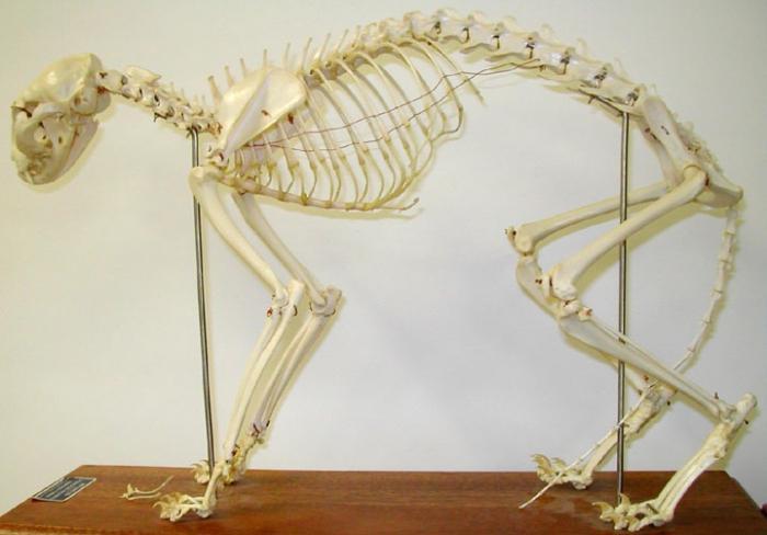 Cuál es el esqueleto de los gatos