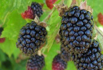 cultivar Blackberry Triple Crown: la description, les caractéristiques, les caractéristiques de la culture