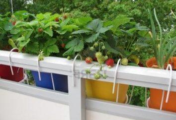 Truskawki na balkonie – z przyjemnością
