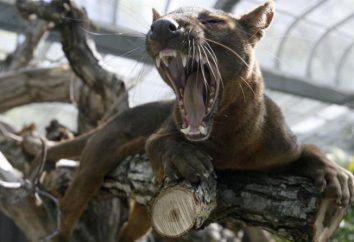 Fossa (animal): descripción, fotos, vida en la naturaleza