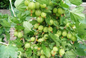 Gooseberry Beryl: description de la variété