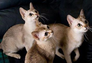 Singapore – o menor gato do mundo