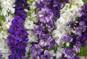 fiori Delphinium – la diversità delle specie