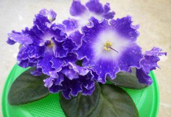 Uvetta Violet: foto e descrizione