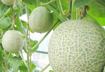 la culture du melon dans des serres en polycarbonate. Plantation et entretien