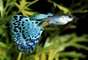 Pequeños peces guppies – el mantenimiento y cuidado