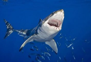 Requin bleu: la description de l'espèce, l'habitat, l'origine et les caractéristiques