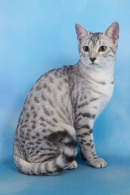 Historia Rasy Egipskich Kotów Mau