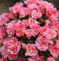 Jardin des plantes: fleurs godetsiya