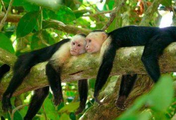 Cappuccini scimmie: caratteristiche contenuto Home