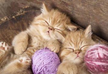 Koty: popularne rasy w Rosji i na świecie