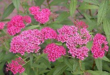 Arbusto ornamentale Spiraea japonica: semina e la cura