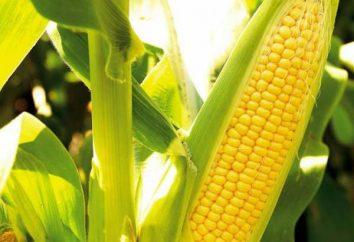 Aussaat Mais im Freiland: Herstellung von Samen, das Timing