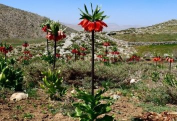 Comment et quand planter fritillaire impériale?